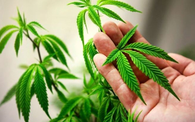 Научно о Cannabis sativa - Угодие